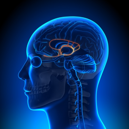 Brain Anatomy Limbic System Stock Photo
