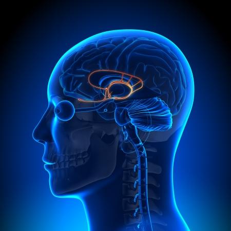 hipofisis: La anatom�a del sistema l�mbico