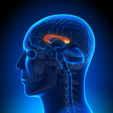 pituitary gland: Brain Anatomy Corpus Callosum Stock Photo