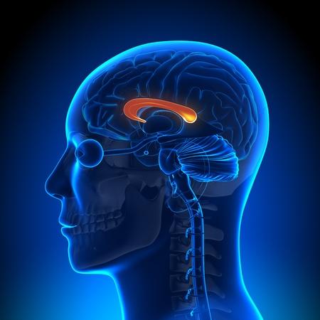 hipofisis: La anatom�a del cuerpo calloso Foto de archivo