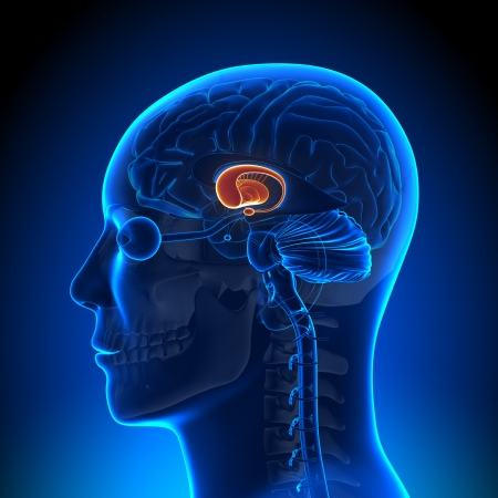 Anatomie basale ganglia