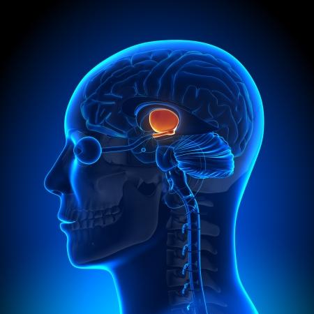 hipofisis: Anatomí Hippotalamus
