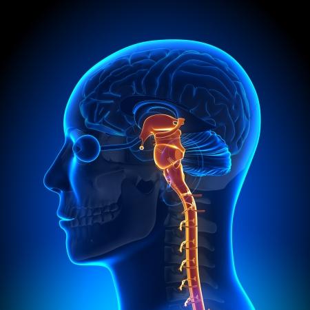 hipofisis: Brain Anatomy nervios de la m�dula espinal Foto de archivo