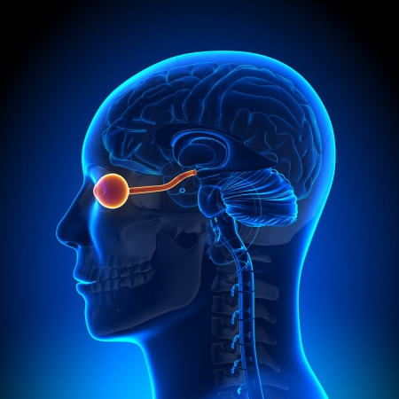 Brain Anatomy Optical Nerve Eye Stock Photo