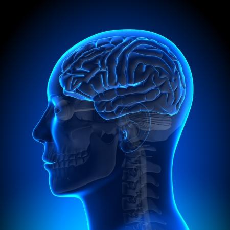basal ganglia: Brain Anatomy Brain Blue Blank