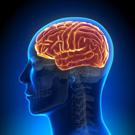 hipofisis: Cerebro Cerebro Anatom�a completa Foto de archivo