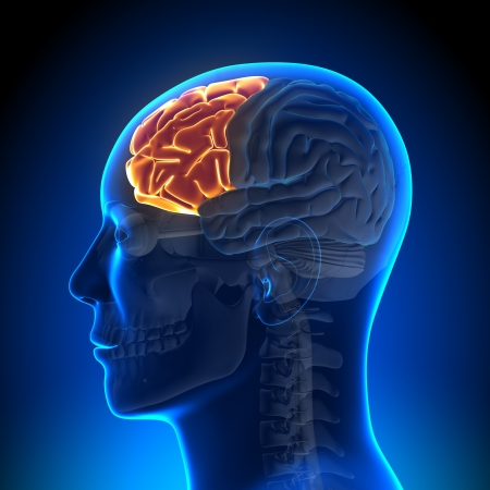 hipofisis: Anatom�a del l�bulo frontal