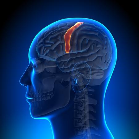 hipofisis: La anatomía del área sensoriomotora Foto de archivo