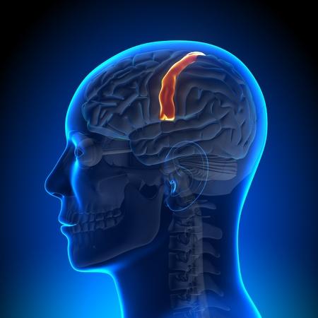 pons: Brain Anatomy Sensorimotor area Stock Photo