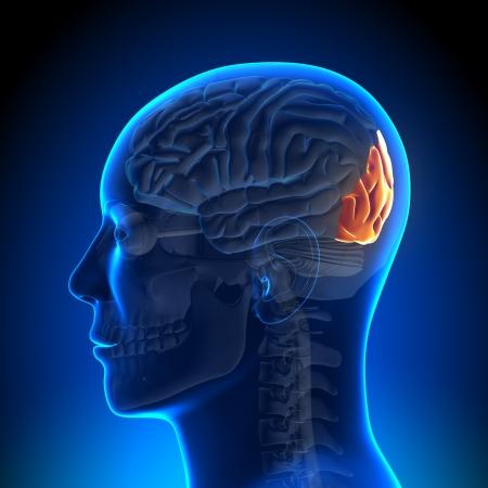 hipofisis: Anatom�a del l�bulo occipital