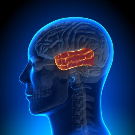 hipofisis: Anatom�a del l�bulo temporal Foto de archivo