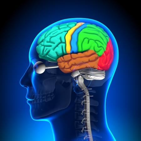 medula espinal: Spinal Cord anatomía cerebral de acuerdo en Colores
