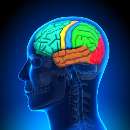 Brain Anatomy according on Colors Stock Photo - 20869650