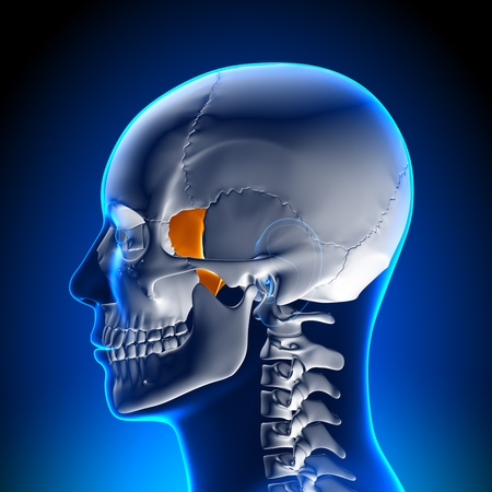 pons: Brain Anatomy Lacrimal bone