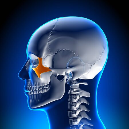 basal ganglia: Brain Anatomy Zygomatic bone