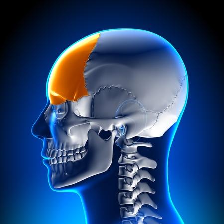 hipofisis: Anatomía del lóbulo frontal