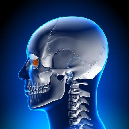 hipofisis: Anatom�a del Lagrimal Foto de archivo