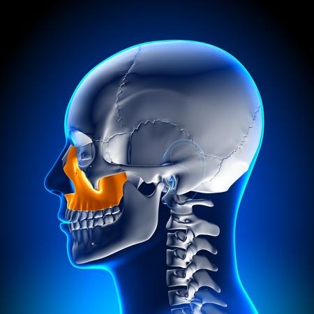 amygdala: Brain Anatomy Maxilla