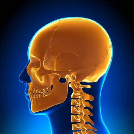 midbrain: Brain Anatomy Orange Skull Stock Photo