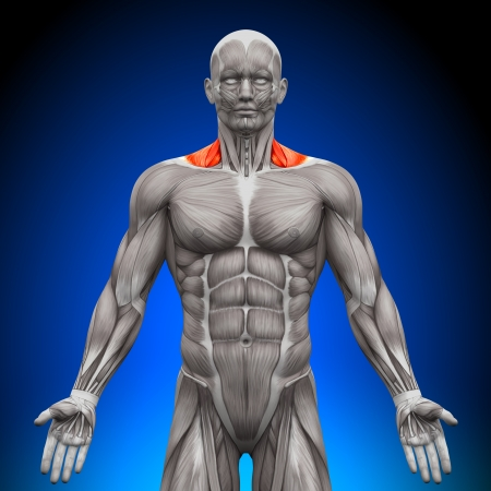 trapezius: Trapezius Front Nech Muscles Anatomy Muscles Stock Photo