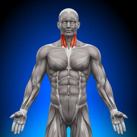 shoulder anatomy: Neck Anatomy Muscles