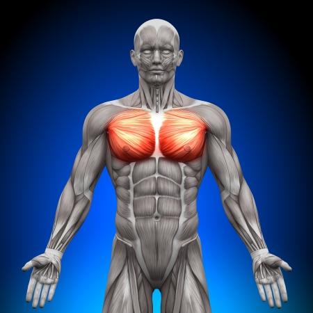 Borst Grote borstspier borstspier Minor Anatomie Spieren Stockfoto