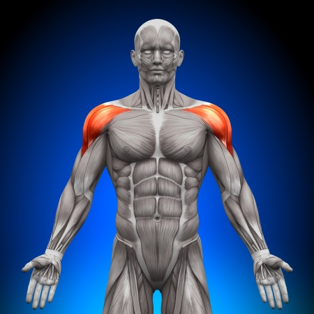 Shoulders Deltoid Anatomy Muscles photo