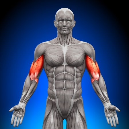 anatomy muscles: Biceps Anatomy Muscles
