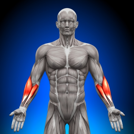 triceps: Forearms Anatomy Muscles Stock Photo