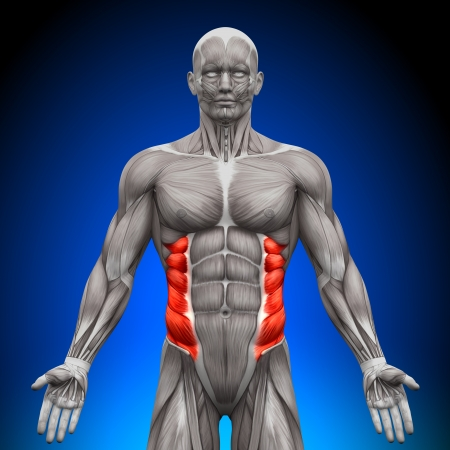 abdominal: External Oblique Anatomy Muscles