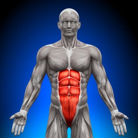 Abs Anatomie Muskeln Standard-Bild - 20869741