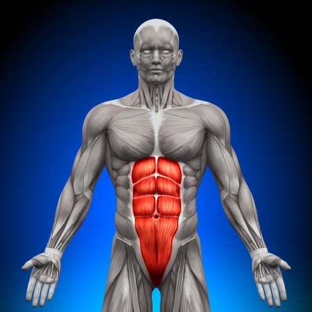 Abs Muscles Anatomy Banque d'images - 20869741