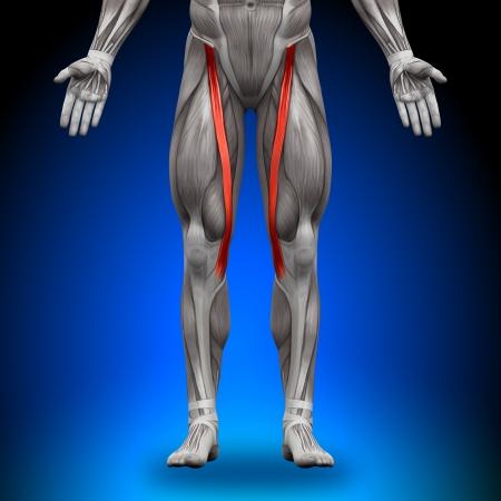 Sartorius Muscles Anatomy Banque d'images - 20869739