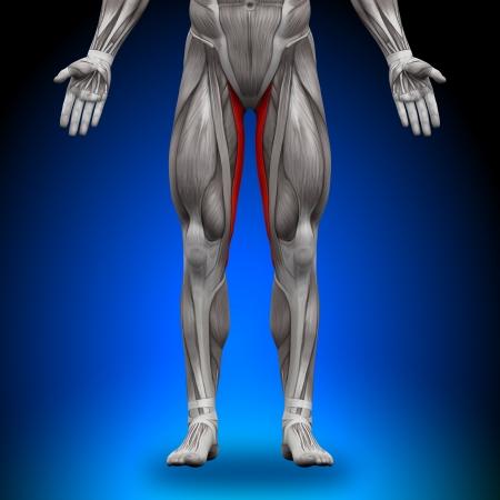 forearm: Gracilis Anatomy Muscles