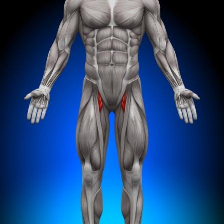 muslos: Muslos Anatomía Músculos