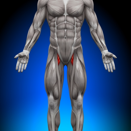 anatomy muscles: Thighs Anatomy Muscles Stock Photo