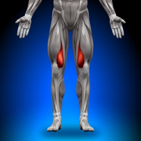 musculos: Vasto interno Anatomía Músculos