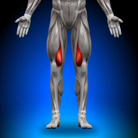 back muscles: Vastus Medialis Anatomy Muscles Stock Photo