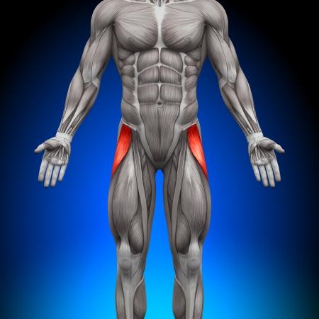 Tensore della fascia Latea Muscoli Anatomy Archivio Fotografico - 20869743