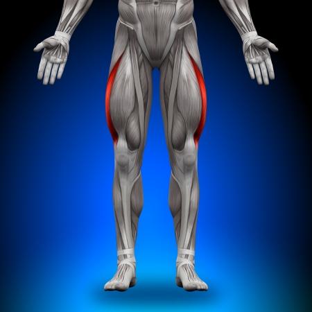 anatomy leg: Vastus Lateralis Anatomy Muscles
