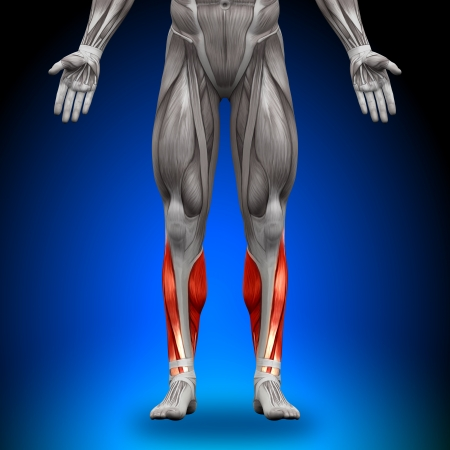 forearm: Calves Anatomy Muscles