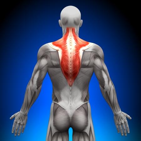 anatomie: Trapezius Anatomie Spieren