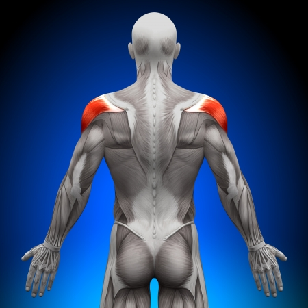 forearm: Shoulders Anatomy Muscles
