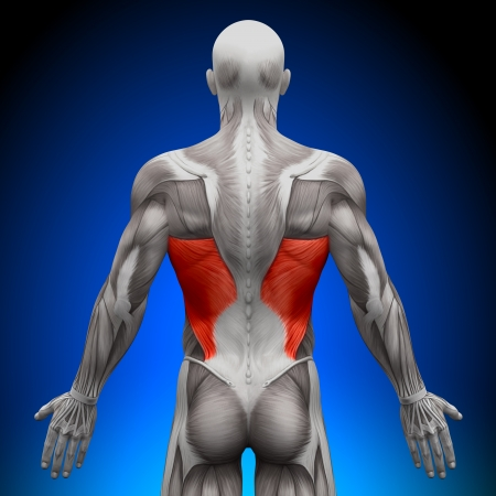 Latissimus Dorsi Anatomy Muscles photo