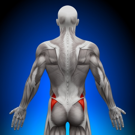 pectoral: Glutes Medius Anatomy Muscles