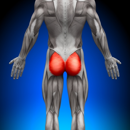 muscle anatomy: Glutes Gluteus Maximus Anatomy Muscles Stock Photo