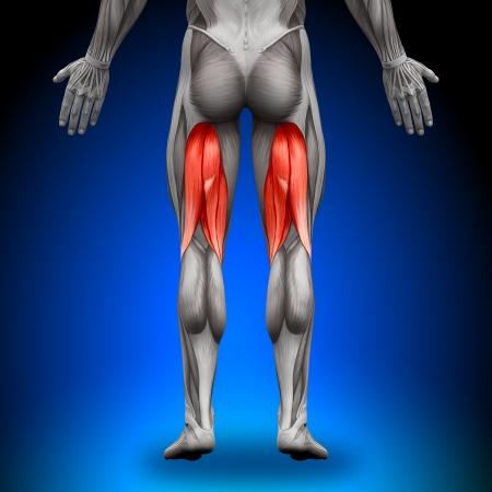 muscular anatomy: Hamstrings Anatomy Muscles
