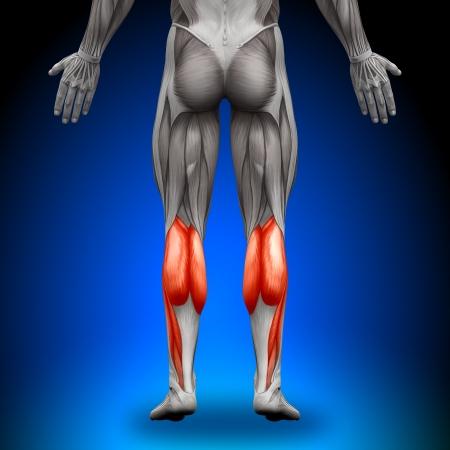muslos: Terneros Anatomía Músculos