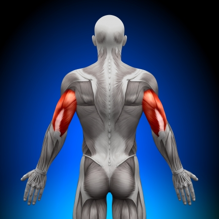 humans: Triceps Anatomy Muscles Stock Photo