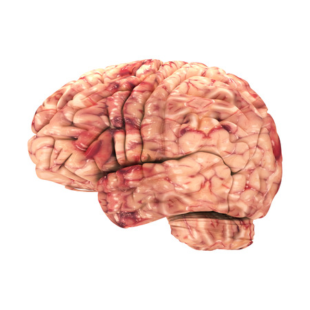 right on: Anatomy Brain - Side View Isolated on White